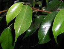 El Ficus