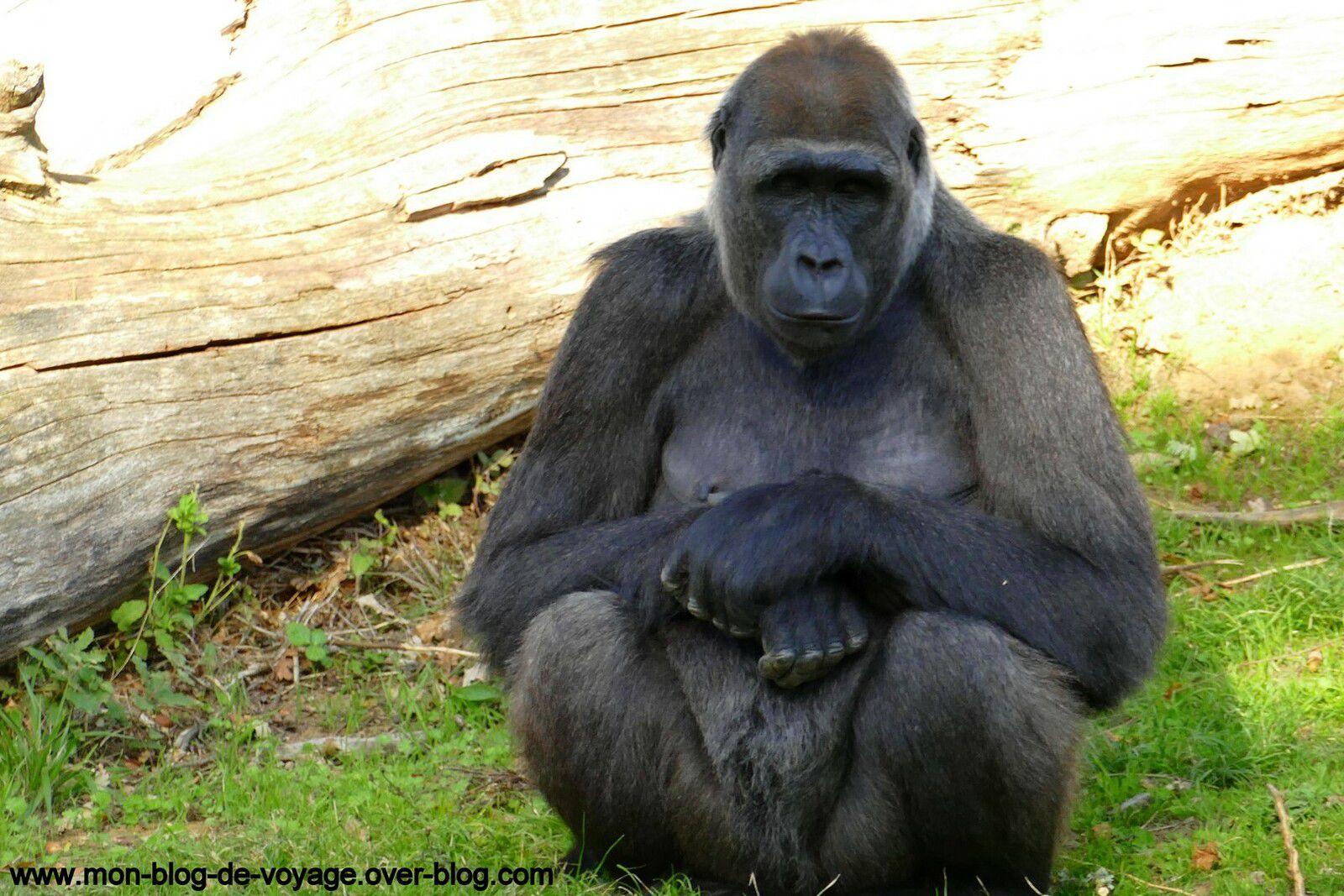 Le groupe des gorilles visibles lors des nourrissages (octobre 2020, images personnelles)