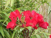 """iris d'eau (Renée ?), hémérocalle de Chaumont """"x"""", rose Falstaff,Vipérine commune, rose Guirlande d'amour, rose Robusta, lavande des jardins d'Arhada, sedum que j'ai égaré !, et rose Danse du feu..."""
