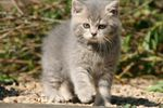 Chatons huit semaines