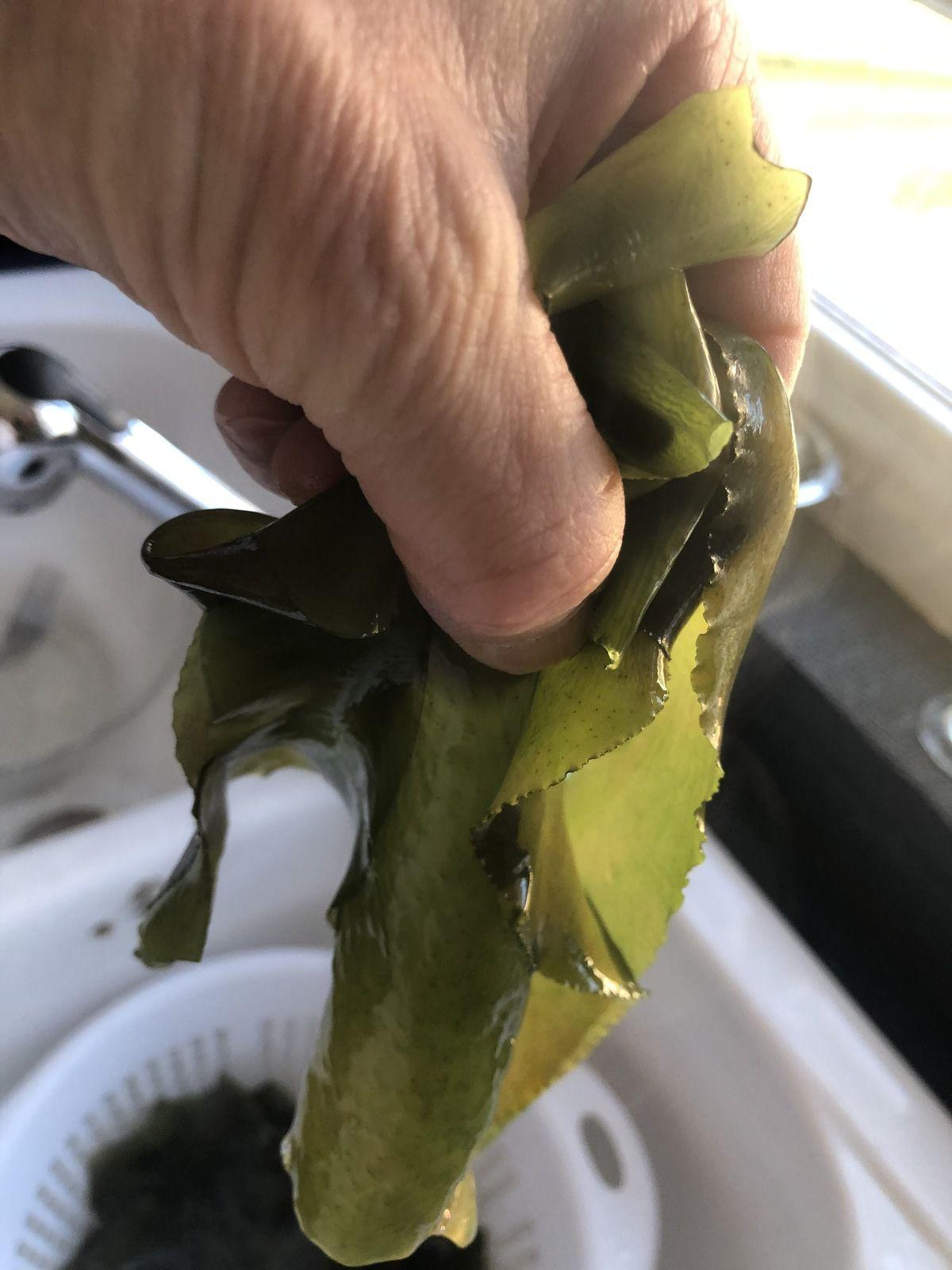 Mais, avant de les découper, il faudra bien rincer celles conservées dans le sel avant de pouvoir les utiliser. Ensuite, qu'elles soient fraîches ou déshydratée, il faut les laisser 10 minutes dans l'eau très chaude. Puis, les passer dans de l'eau très froide.