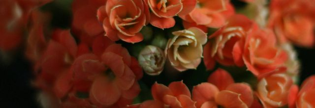 Les fleurs du Kalanchoé..