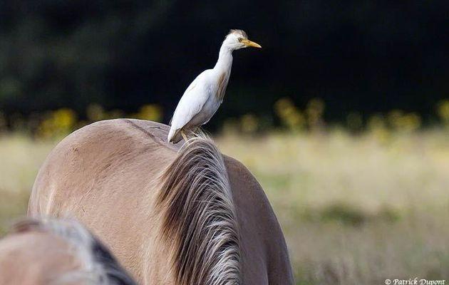 Trois oiseaux vus au Parc du Marquenterre