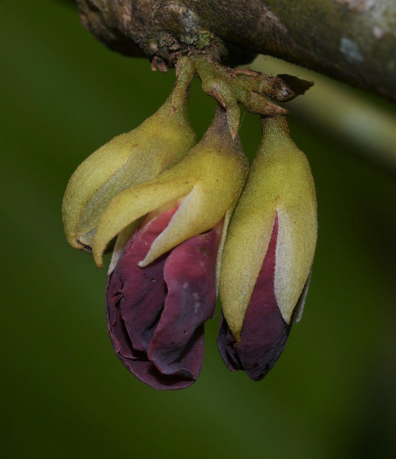 Limadendron hostmannii