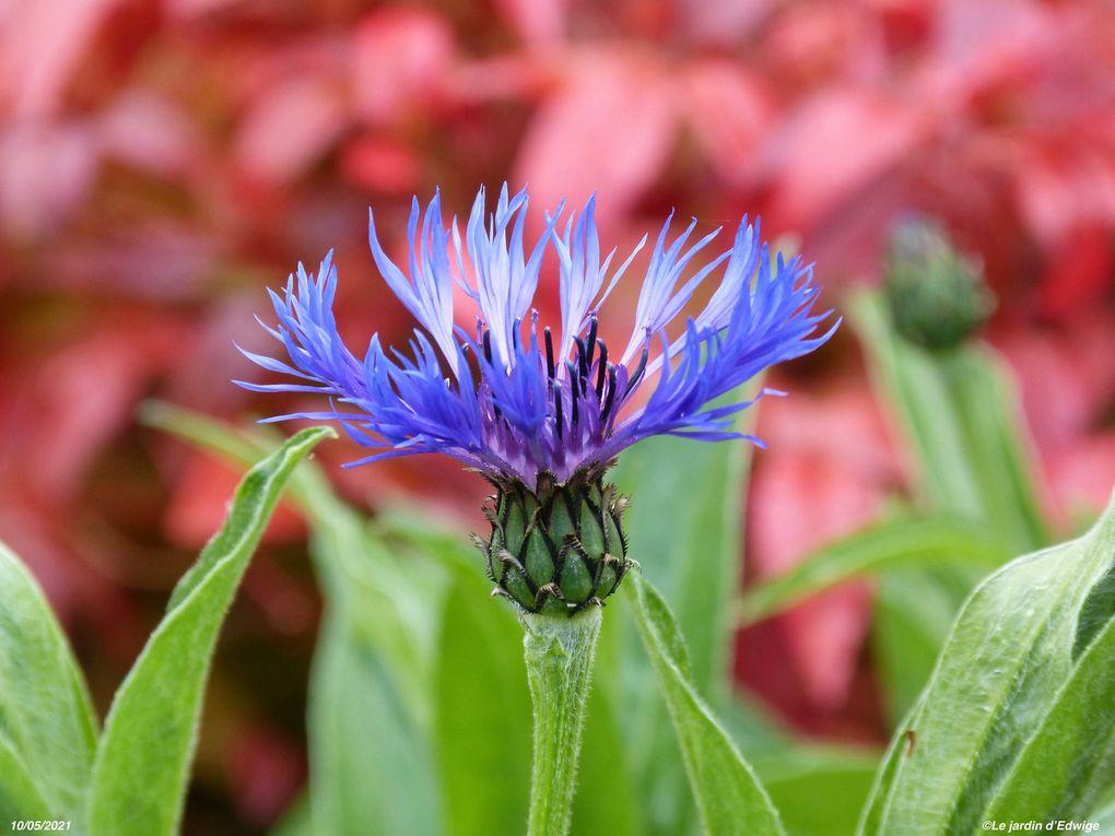 Bleuet des montagnes - Centaurea montana