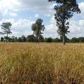 Les rizières d'Isaan... en novembre. - Noy et Gilbert en Thaïlande