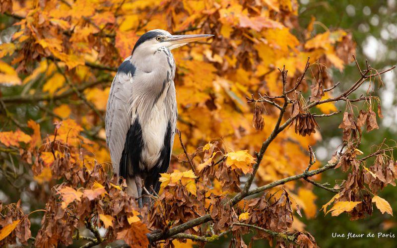 La photo du dimanche : Un héron en automne