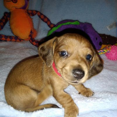 Mini, smooth Dachshund pups available.