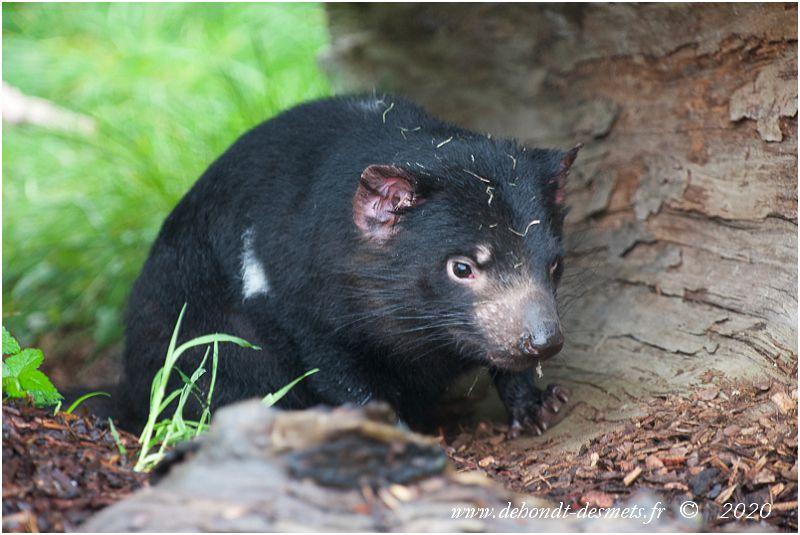 Le diable de Tasmanie choisit souvent pour tanière une grotte ou un tronc d'arbre creux.