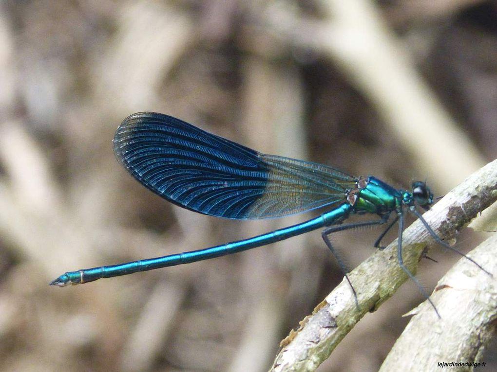 Caloptéryx éclatant ou Caloptéryx splendide - Calopteryx splendens