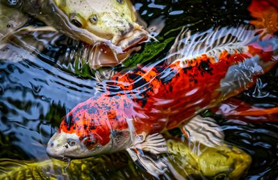 Buying Koi Fish for Sale - How to Get the Right Fish