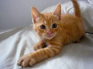 Limbo, chaton mâle roux, à l'adoption -> adopté