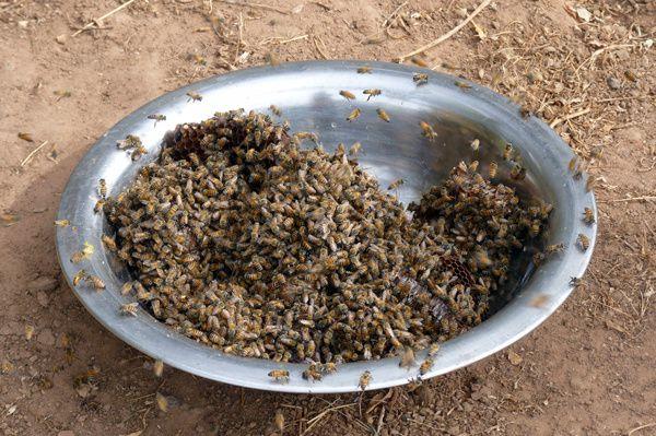 Récolte à Kirili chez Abdoulaye et Lamine Sarr... un conseil, n'attendez pas le lendemain matin pour extraire le miel !