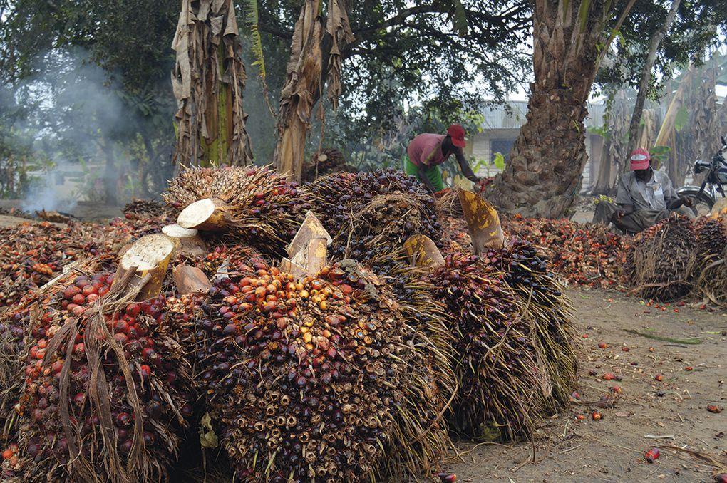 Hombres y mujeres se reparten el trabajo en los palmerales. Fotografía: Aurora M. Alcojor.- El Muni.