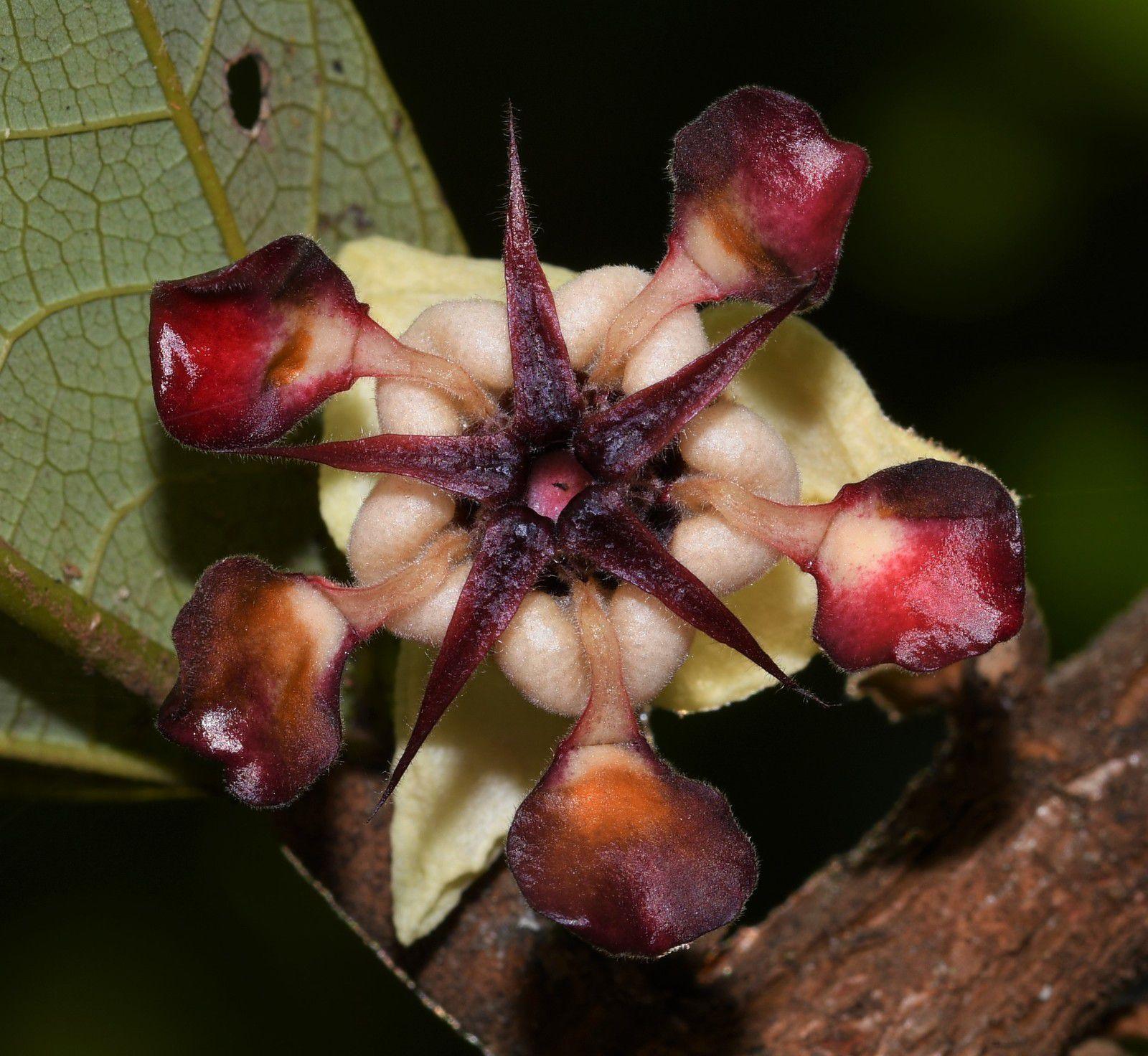 Theobroma grandiflorum (cupuaçu)
