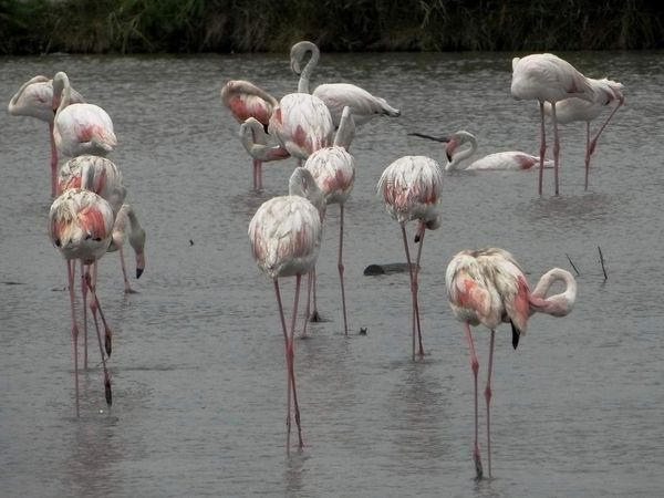 Flamants roses (Phoenicopterus roseus). Photos : René Michaud