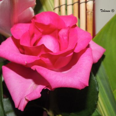 A rosy rose