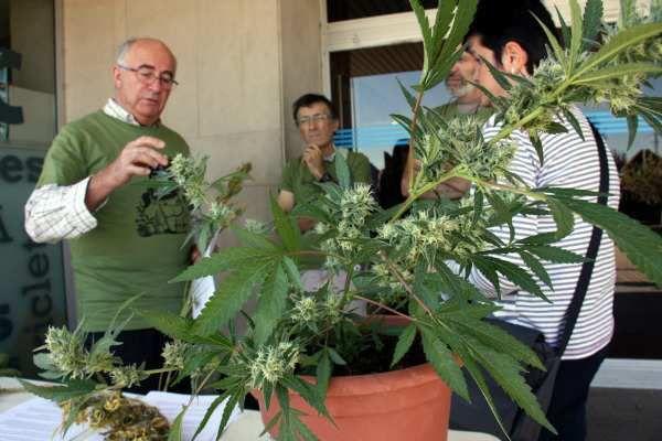 DOS AÑOS DE CÁRCEL Y 18.000 EUROS DE MULTA es la petición del fiscal, por cultivar marihuana para usos terapéuticos
