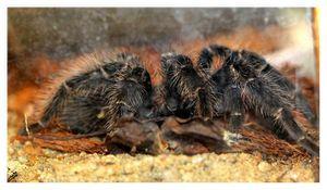arachnides : aranéides : Théraphosidés (araignées)