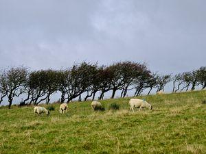 """Un petit clin d 'oeil aux moutons, véritables symboles en Irlande du Nord et vénérés comme  peuvent l'être les """"Vaches sacrées"""" en Inde."""