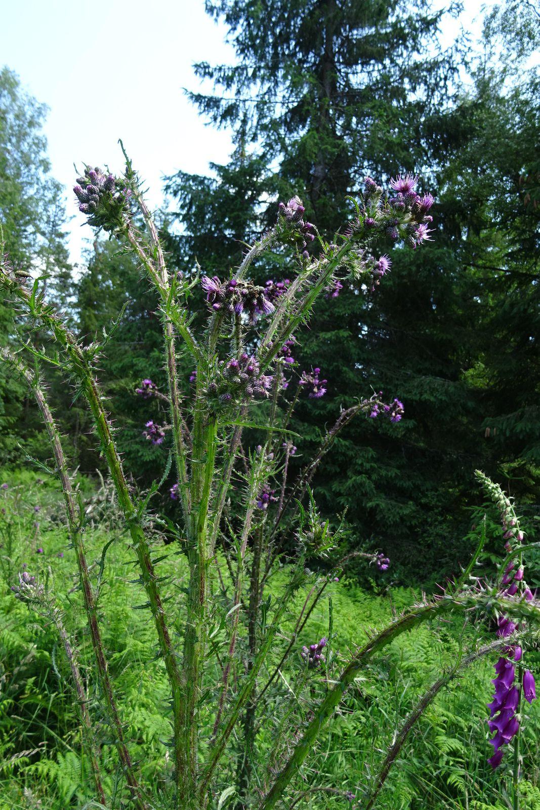 Notre parcours est agrémenté de campanules, de chardons et autres fleurs.