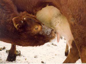 Les bienfaits du colostrum bovin