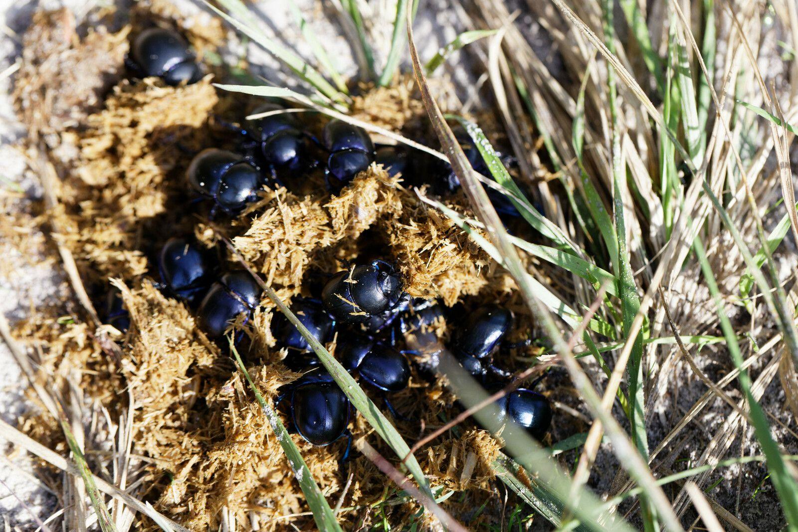 Trypocopris vernalis en grand nombre, consécutif au passage de Chevaux.