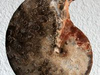 Ammonites du Turonien marocain.
