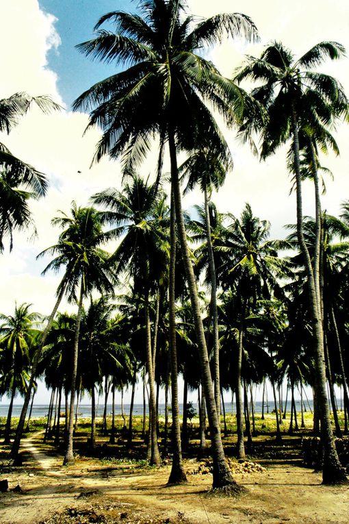 Cette petite île ( la plate, à droite des dias 5, 6, 7 ), nous l'avions découverte, en longeant la côte ouest de Timor à moto. Bien sûr, on a eu envie d'y aller ! Les îliens vivent surtout des algues, vendues pour les cosmétiques, et du palmier lontar. On remarquera le beau cimetière marin ( dia 9 ) et les cochons en liberté:  quand il y a cochon, il y a eu christianisation !  Rote n'étant qu'à 500 km de l'Australie, nous y avons rencontré de nombreux Australiens, tous plus accueillants les uns que les autres - et ils ont de la bière !.