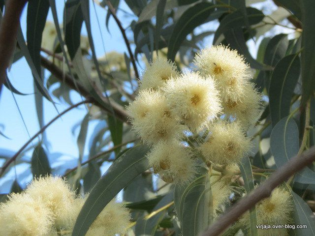 fleur d'eucalyptus