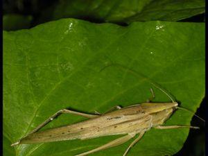 Neoconocephalus sp. (à gauche) et capture au filet (à droite)