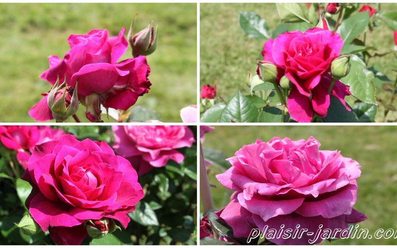 Le rosier 'Intrigue'