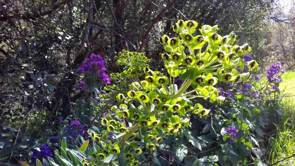 La plante c'est l'euphorbe et puis en haut le grand arbre, que la nature est belles (2 photos)