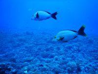 Plongée avec les requins citrons