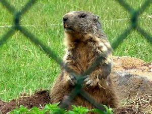 Marmotte, renne, lama, myocastor