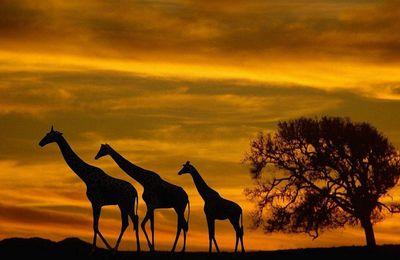 Animaux - Girafe - Afrique - Coucher de soleil - Arbre - Silhouettes - Photographie - Wallpaper - Free