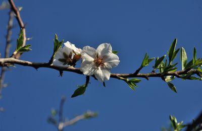 Fleurs d'amandier à la Ferme Catalane