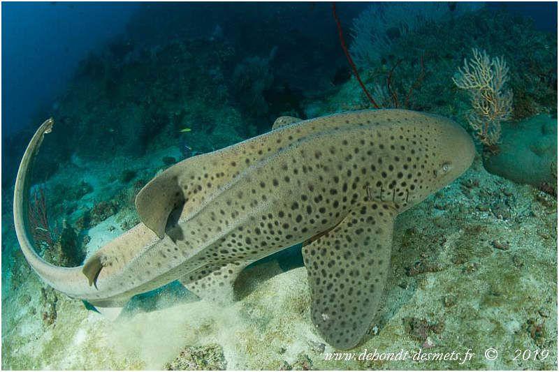 Le requin zèbre adulte a le dos jaune avec des taches noires comme un léopard et le ventre blanc.