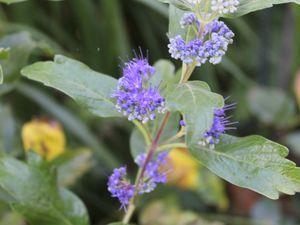 Septembre au jardin, la couleur bleue ( I )