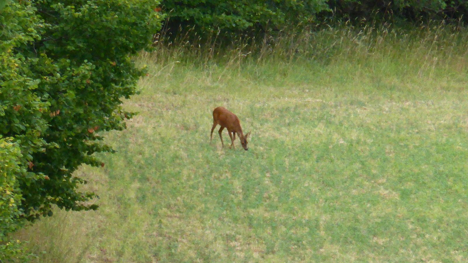 Nous revoilà sur un secteur plus plat avec nos amis les bêtes à bonne distance ici comme ce chevreuil dans un champ voisin.