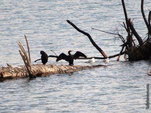 Les cormorans...