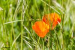 Pavot ou coquelicot orange