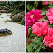 Daikonshima: l'île japonaise où les pivoines sont reines