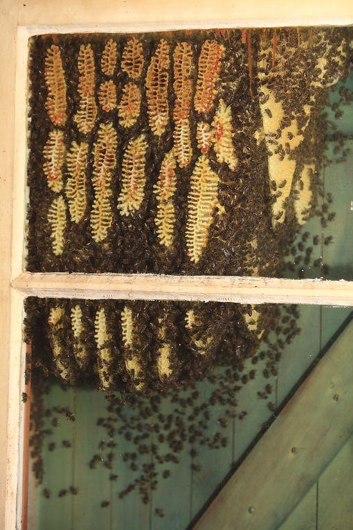 L'essaim d'abeilles ou la ruche improvisée