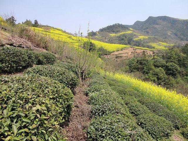 Dans l'Anhui au printemps, la région vire de couleurs en couleurs : la verdure donne place au rose des pruniers, puis vire au jaune des colza... mais aussi magnolias, pêchers...