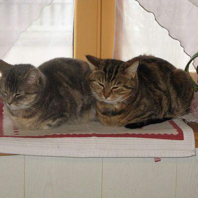 2 chats qui suivent une tarte en préparation, elles n'en perdent pas une miette