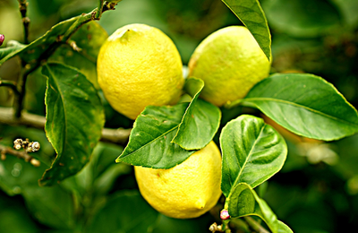Grow your own lemons with a Meyer Lemon Tree