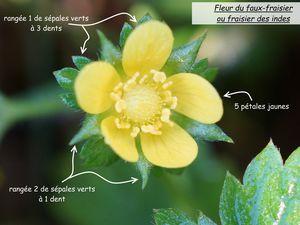 Fleurs hermaphrodites de Rosaceae