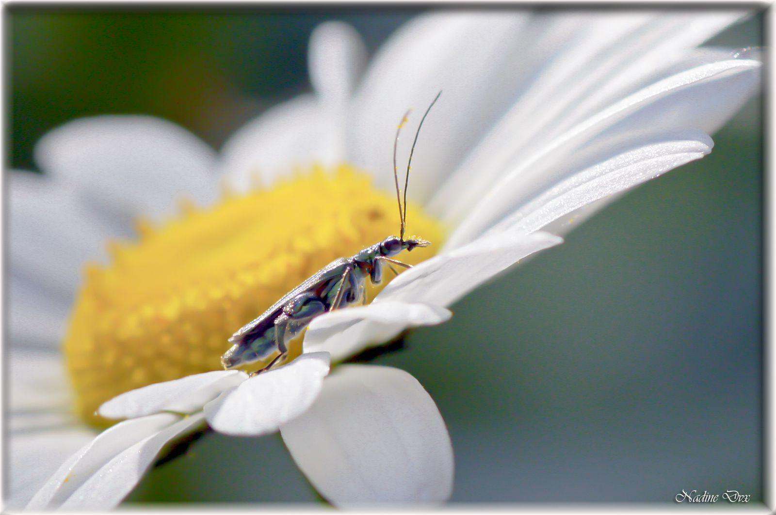L'œdémère noble (Oedemera nobilis) - Coléoptère