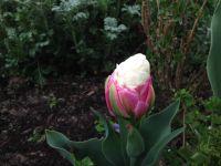 Au 6 avril, la tulipe 'Ice cream' n'a toujours pas éclos. Le 12 avril, on comprend bien son appellation ! (3 photos)